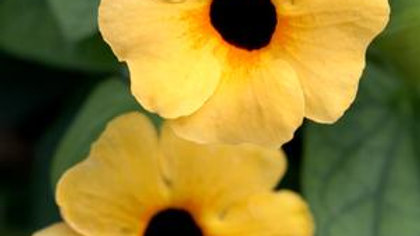 Thunbergia (2 colors)