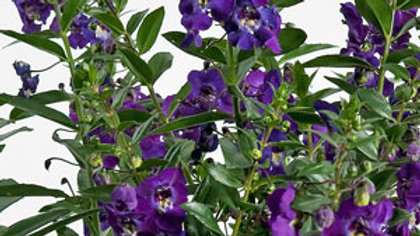 Angelonia-(2 colors)