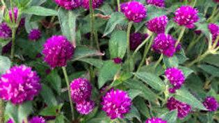 Gomphrena-Pin Ball Purple