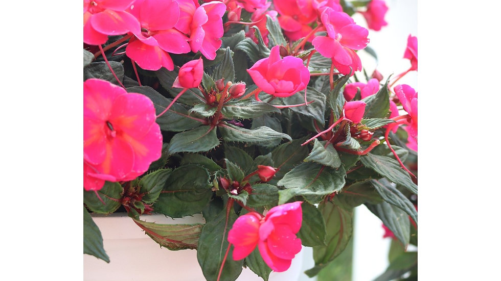 New Guinea Impatiens-3 varieties