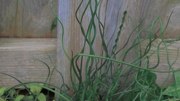 Grass Juncus effusus Spiralis