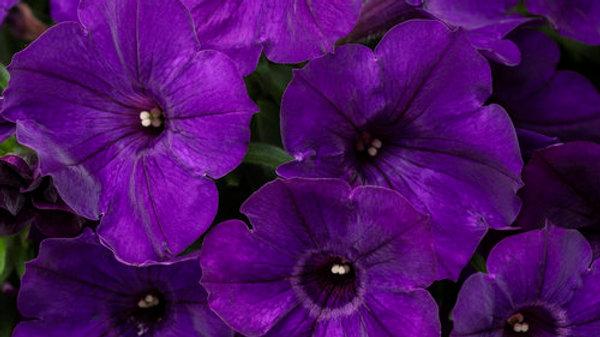 Petunia-Supertunia Royal Velvet