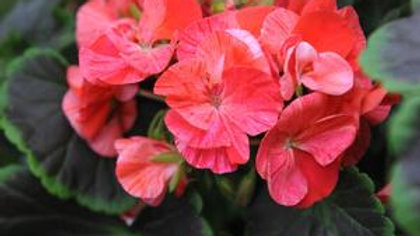 Geranium Tall Dark and Handsome-Coral