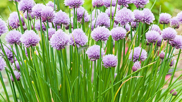 Herb-Chives