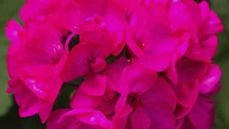 Geranium Calliope Medium Deep Rose
