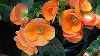 Begonia-Hiemalis-Dark Britt