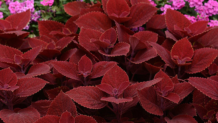 Coleus-Ruby Slipper