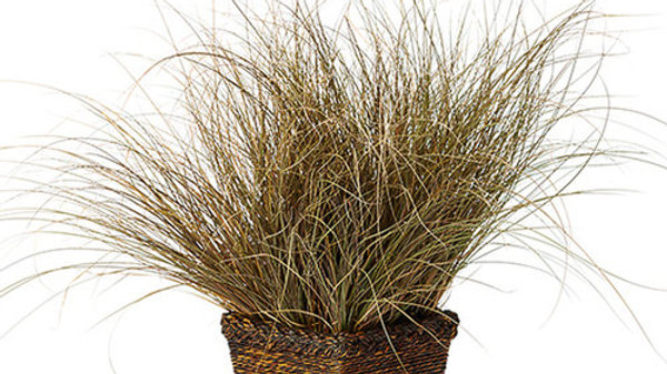 GR Carex flag Toffee Twist