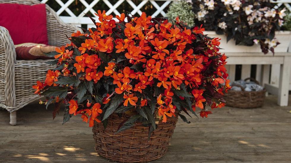 Begonia-i conia-fire
