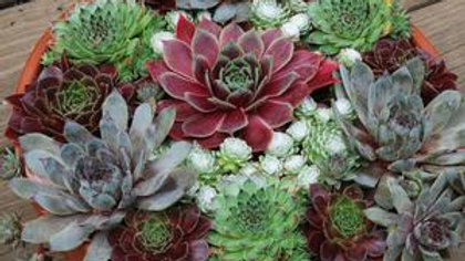Succulent Combo Mix (Chick Charms)