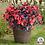 Thumbnail: Begonia-Viking XL-2 colors