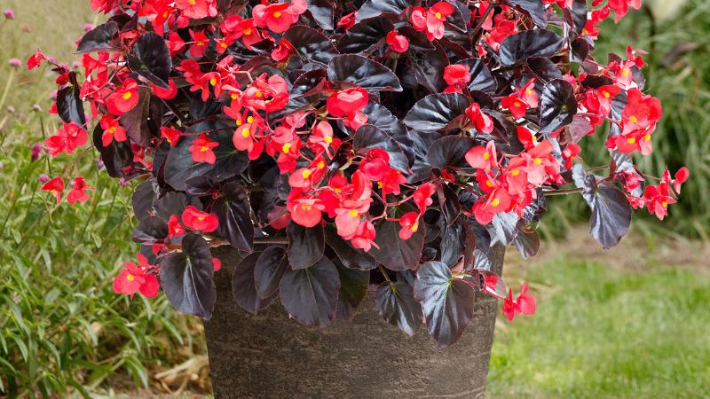 Begonia-Viking XL-2 colors