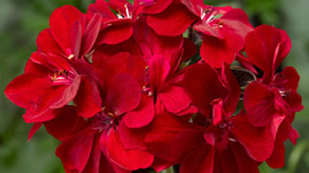 Geranium Ivy-2 colors