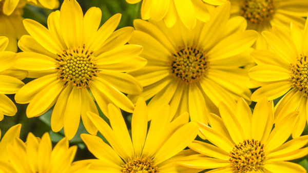 Osteospermum-Bright Lights™ Yellow