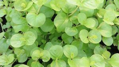 Lysmachia-Creeping Jenny (2 Types)