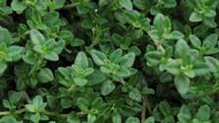 Herb-English Thyme