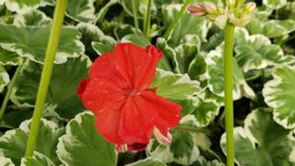 Geranium Brocade-Willhelm Languth