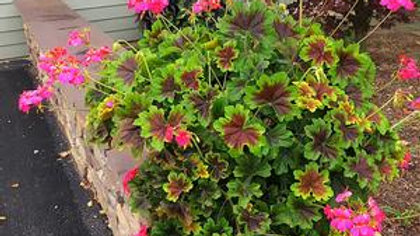 Geranium-Gardenstar-Flame Violet