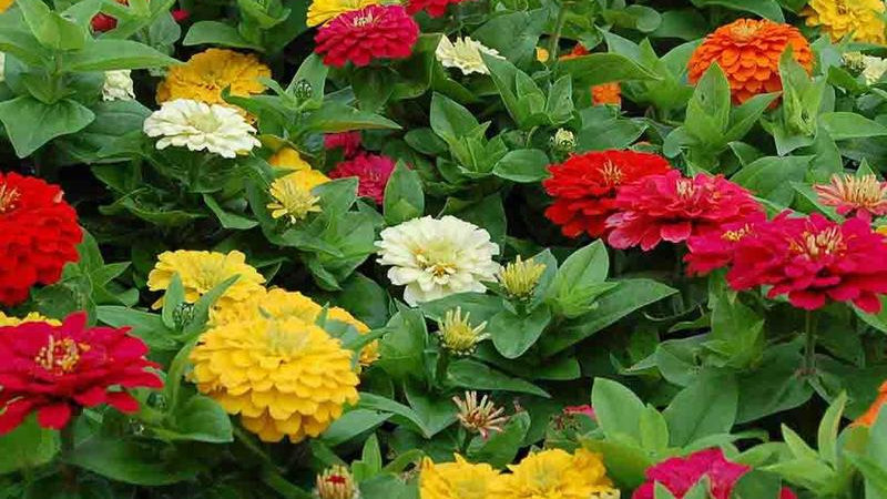 Zinnia State Fair Mix