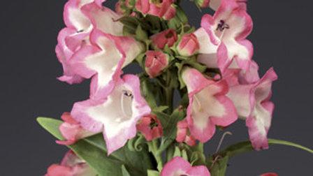 Penstemon Phoenix Pink or Violet
