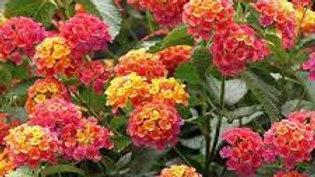 Lantana (8 colors)