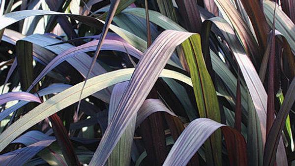 Grass-Pennisetum Vertigo