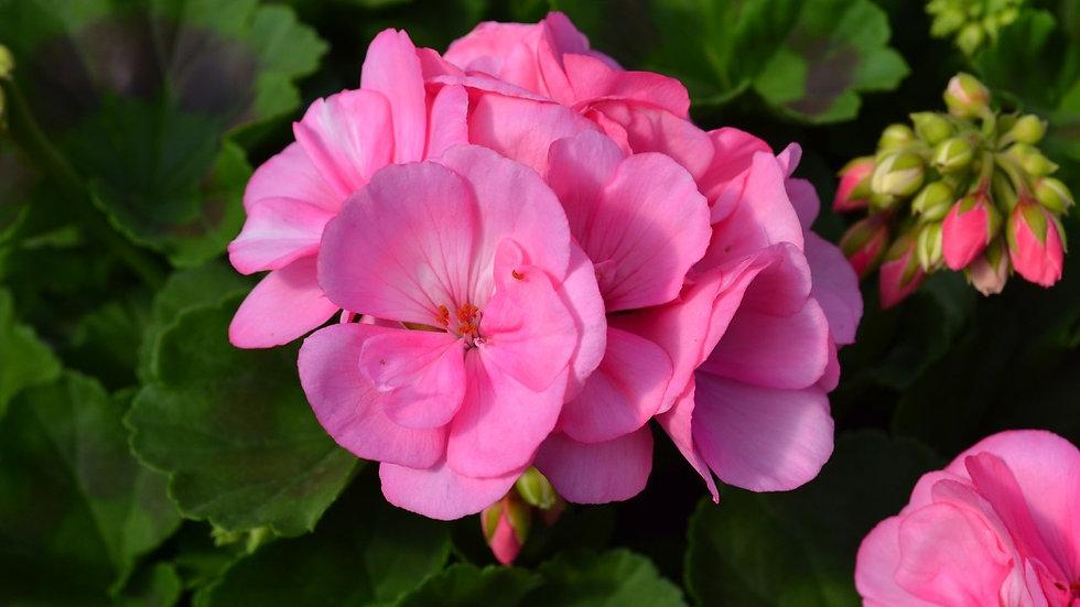 Geranium Big EEZE Pink or Watermelon