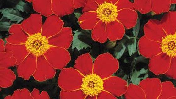 Marigold (7 types)