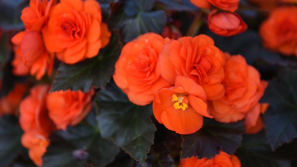 Begonia-Oh So Orange