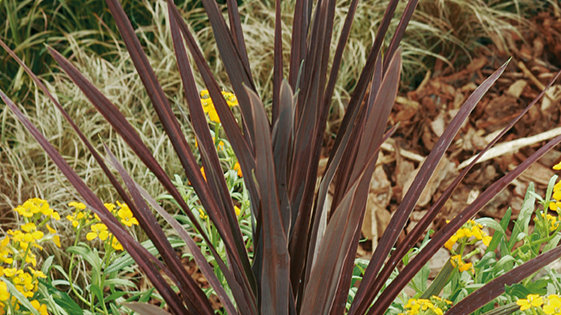 Cordyline-Red Sensation