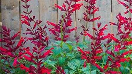 Salvia Roman Red