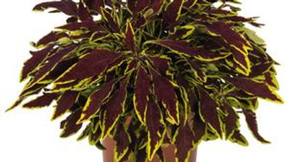 Coleus-LeFreak