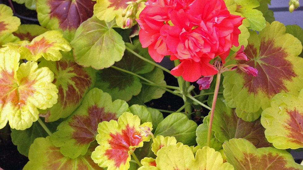 Geranium Brocade-Occold Shield