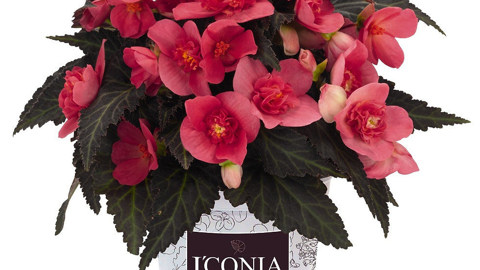 Begonia-i conia (double flower) 2 colors