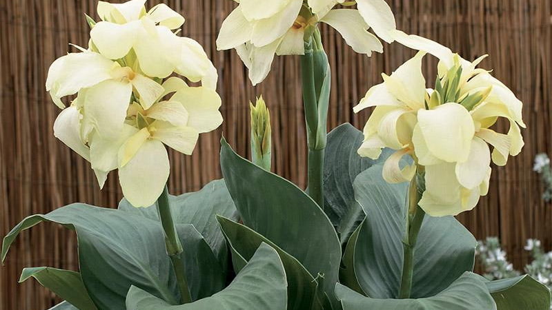 Canna South Pacific Ivory