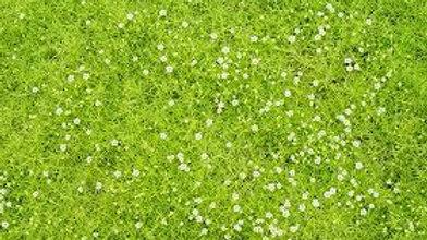 Scotch Moss-Tender Perennial