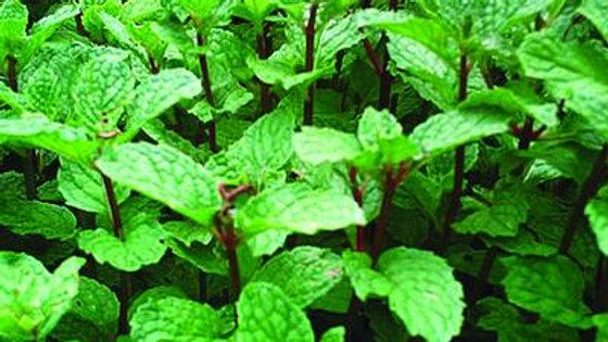 Herb-Mint (2 types)