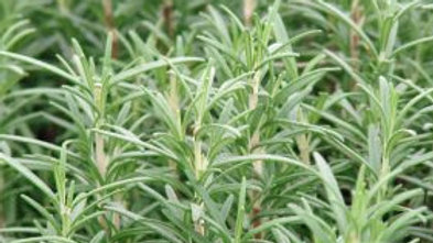 Herb-Rosemary (2 types)