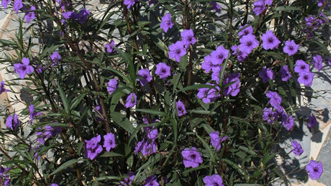 Ruellia-Purple Showers