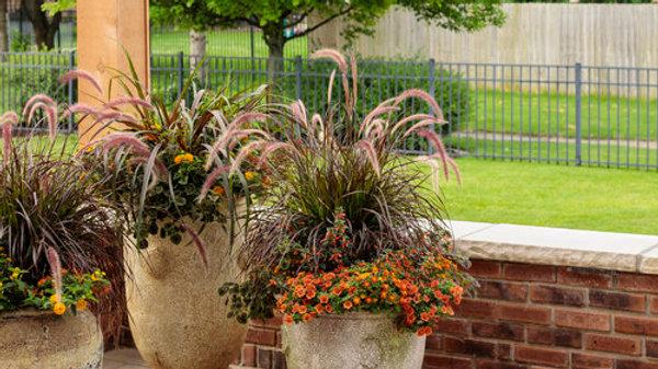 Graceful Grasses® Purple Fountain Grass