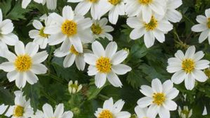 Bidens-White Delight