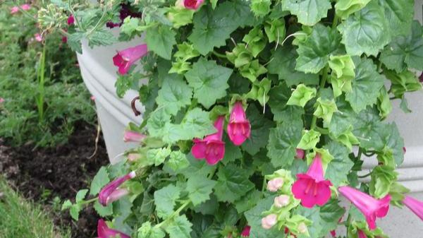 Lophospermum-lofos compact rose