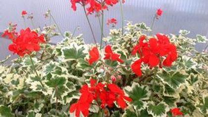 Geranium Brocade-Mint Julep