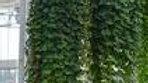 Lysmachia-Creeping Jenny (3 Types)