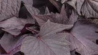 Sweet Potato Vine (5 types)