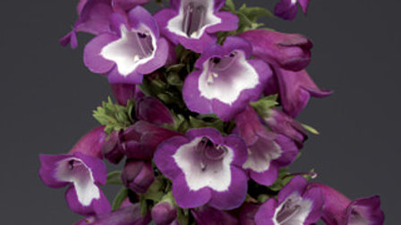 Penstemon Phoenix Violet