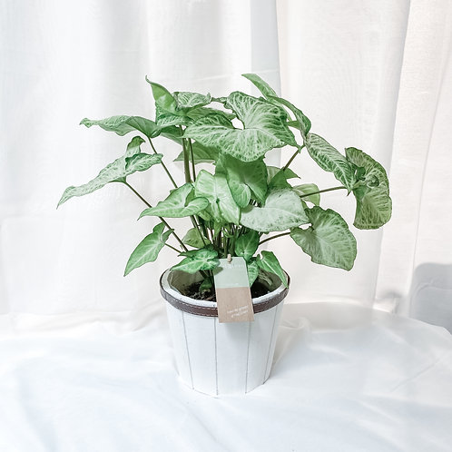 Syngonium White Butterfly