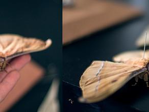 Chinese Oak Moth (Antheraea pernyi)