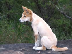 wildlife_dingo3.jpg