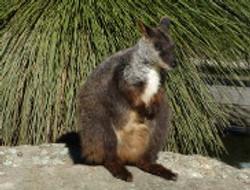 wildlife_brushtailed_rockw2.jpg